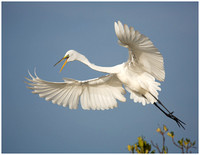 Great Egret Taking off from the Rookery