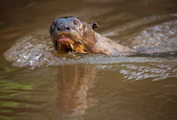 Gaint River Otter swimming