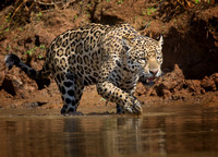 Jaguar testing the water