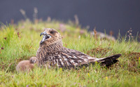 Skua with Chick